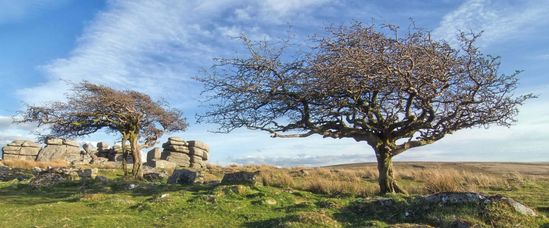 Hawthorn trees at Combestone Tor