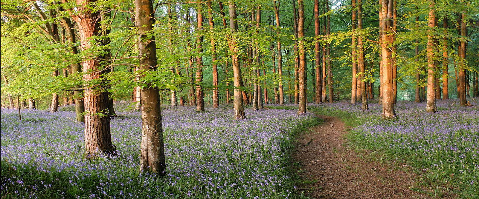 Bluebell wood in Devon