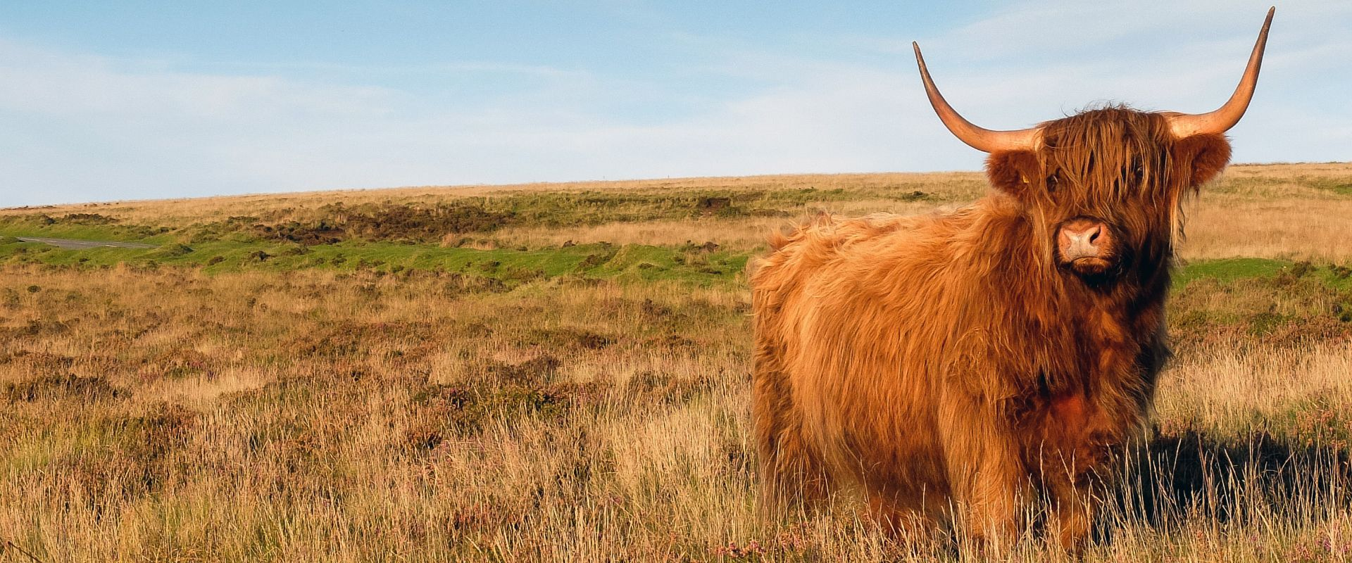 Highland Cow on Dartmoor