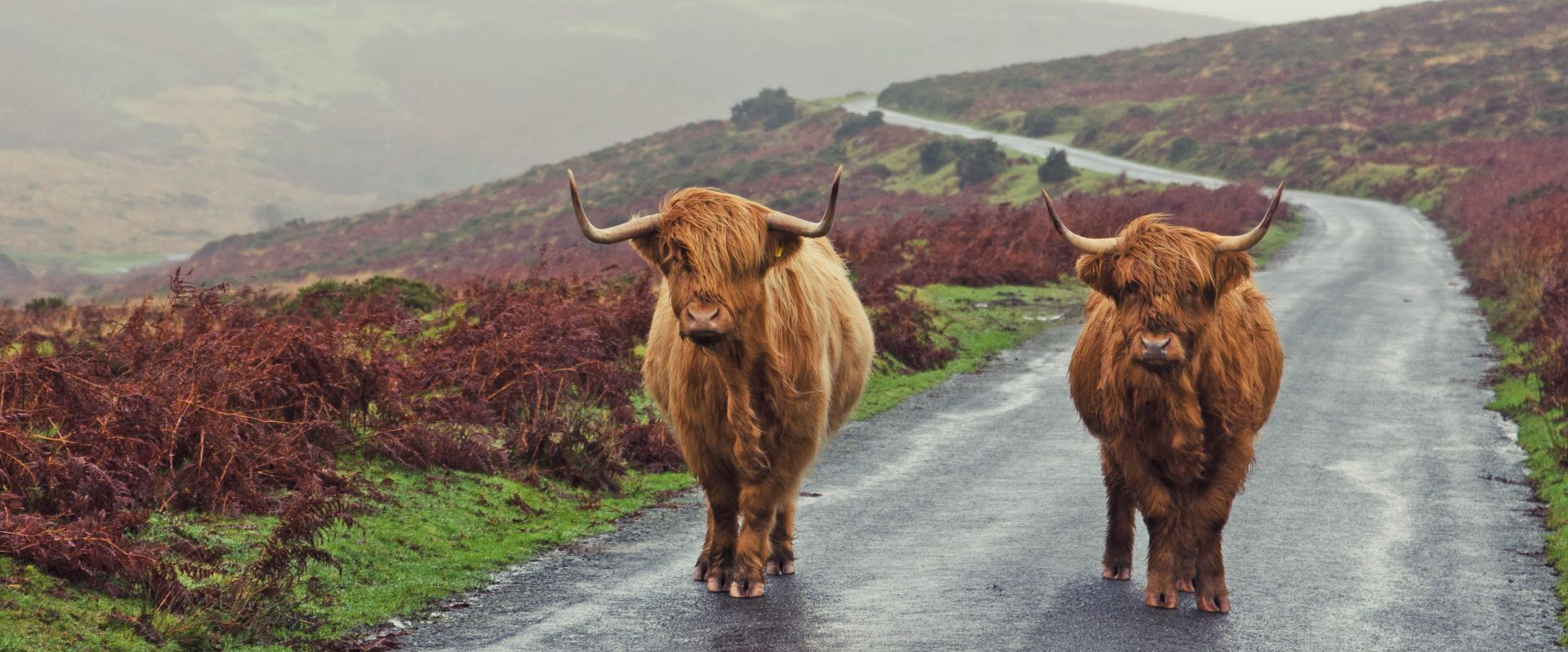 Highland Cattle on Dartmoor seen during Hound of the Baskervilles Tour