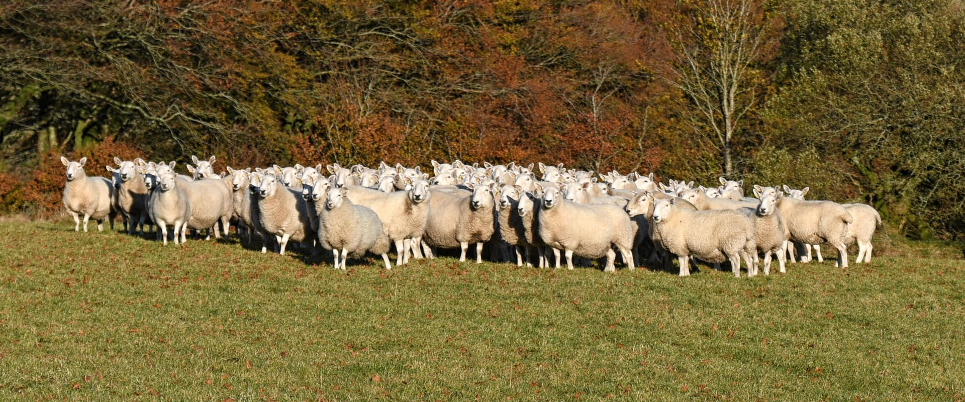 A flock of sheep having been herded