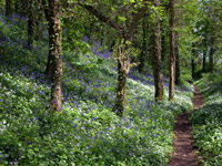 Bluebell Wood Devon attraction