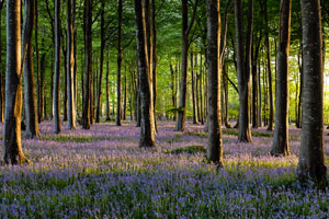 Photography tour bluebell patch