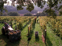 Devon vineyard tour - Vines