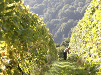 vineyard tour - Sharpham vineyard
