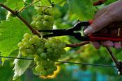 Lily Farm vineyard Tour