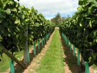 vineyard tour - Old Walls vineyard