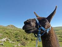 Llama walking tours