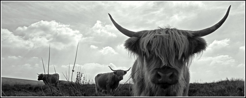 Highland Cattle on Dartmoor, and why not?!