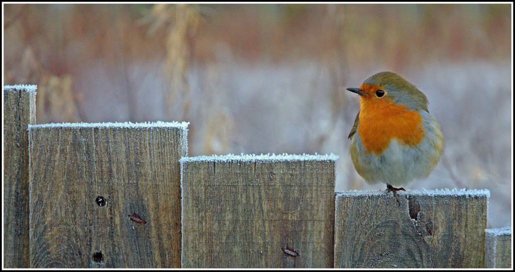 Resting Robin