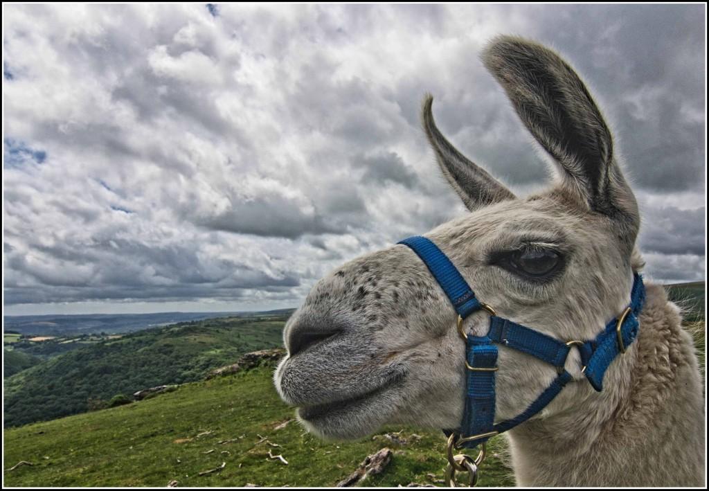 Cream-tea-Llama-Devon