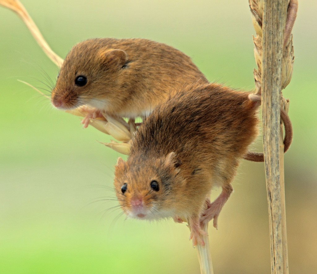 Pair of Field Mice