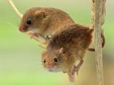Pair of Field Mice