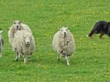 Matt the Sheepdog