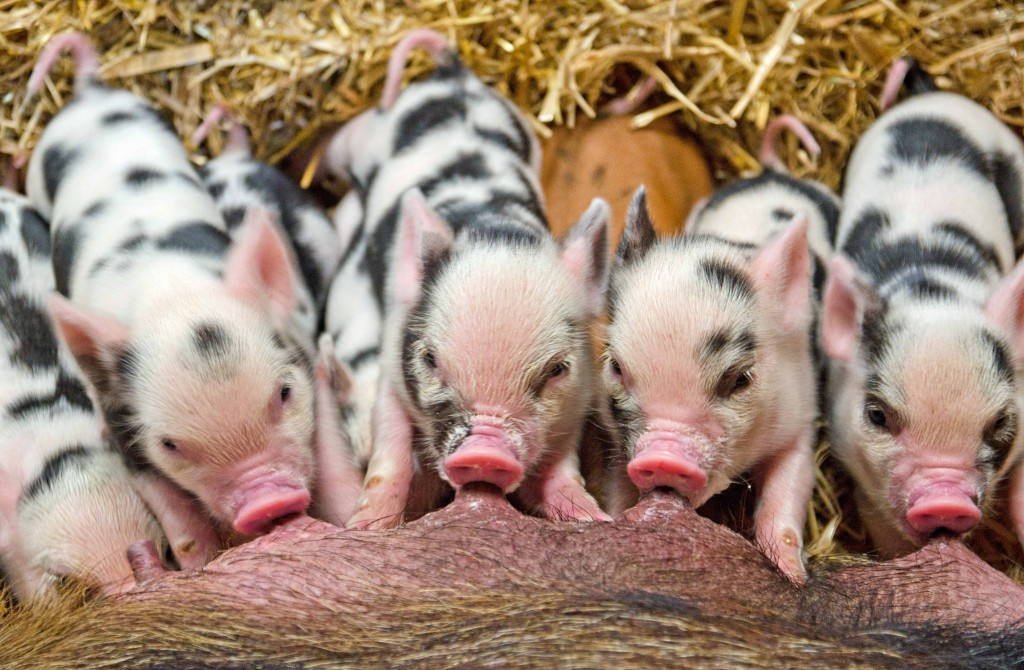 Piglets at Pennywell Farm