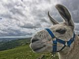Llama on Dartmoor