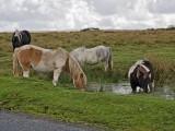 Dartmoor Ponies Drinking
