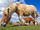 Grazing Ponies on Dartmoor
