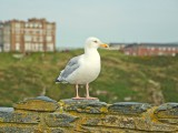 Gull at Tintagel