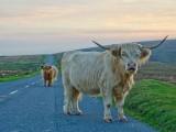 Highland Cattle on Dartmoor road