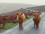 Highland Cattle on Dartmoor