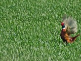 Pheasant in Dorset
