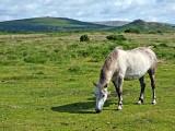 White Pony on Dartmoor