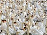 Swans at Abbotsbury