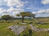 Whitethorn trees at Combestone Tor