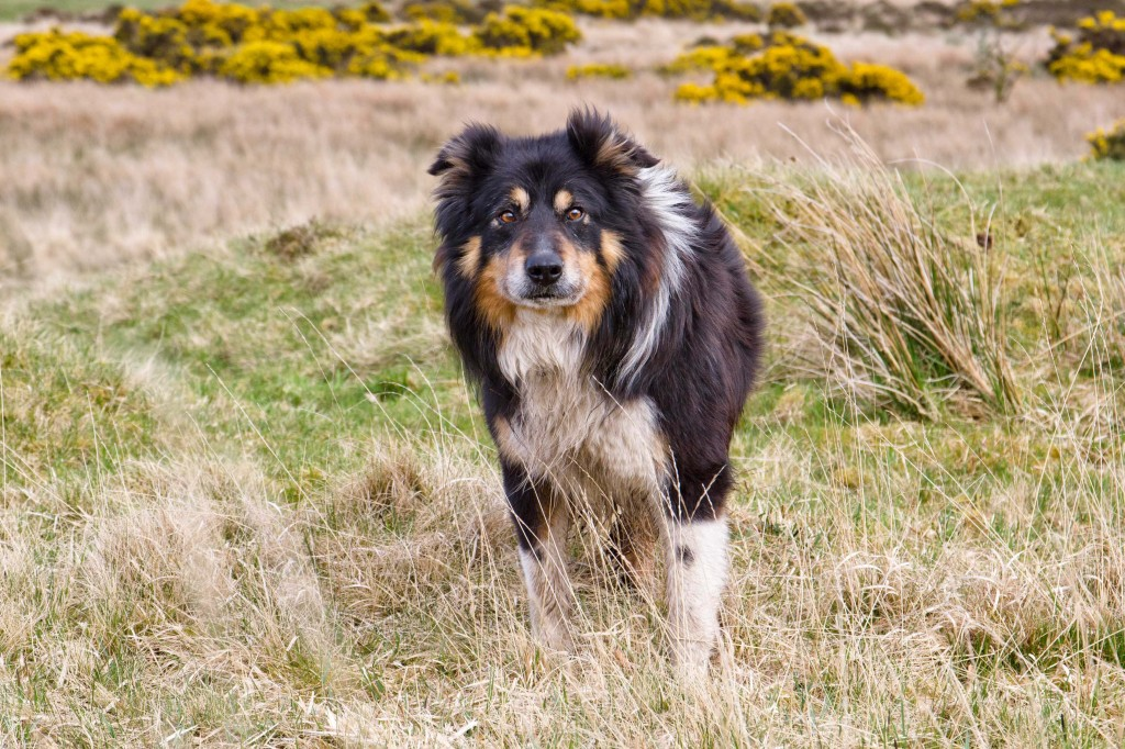Matt-Sheepdog-Dartmoor