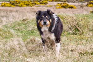 Matt Sheepdog Dartmoor